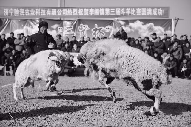 """鱼台设擂武选""""羊大王"""" 场面震撼千人围观"""